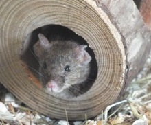 House Mouse at Battersea Park Children's Zoo