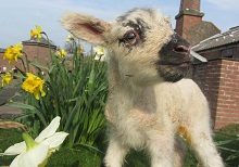 Newborn Lamb at Tatton Park
