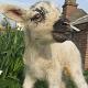 Newborn Lamb at Tatton Park