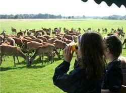 Summer deer feedng at Tatton Park