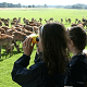 Summer deer feedng at Tatton Park