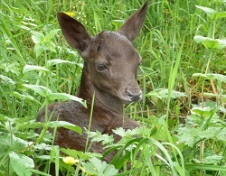 Fallow deer fawn at Chestnut Centre