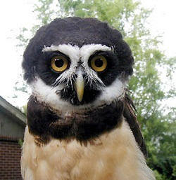 Spectacled owl at Chestnut Centre